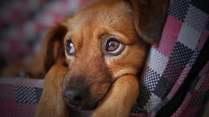 pelech pro psa